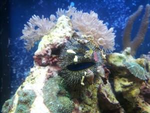 морской ёж арбузик